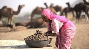 Can You Eat Camel Manure?