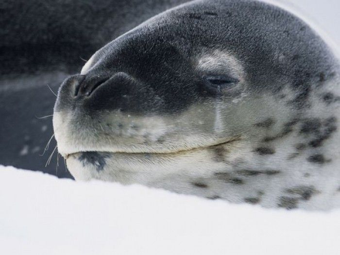 Leopard Seal Kills Diver