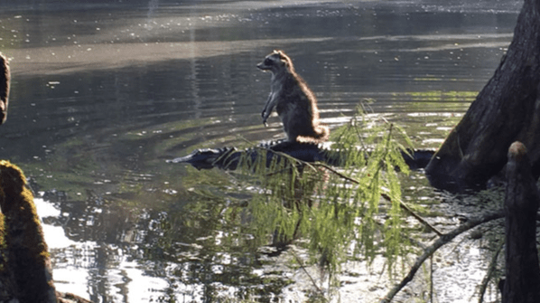 Raccoon Rides Alligator