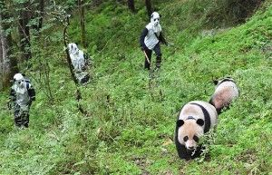 Men in masks can get up close to pandas