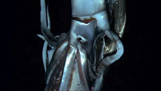 Giant Squid found
