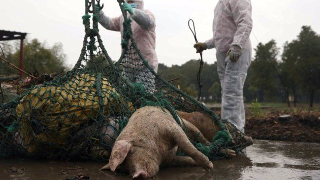 6000 dead pigs wash up in chinese river