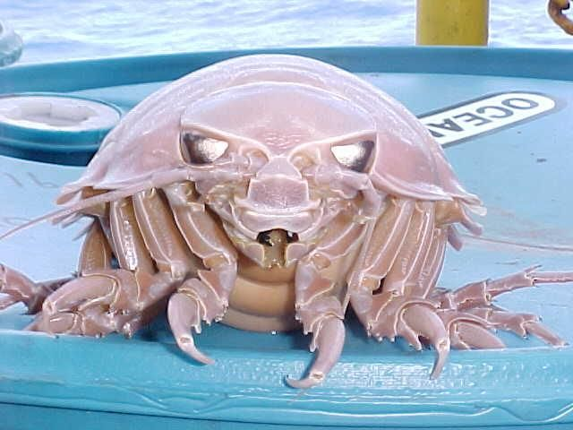 Giant Isopod Reflective eyes
