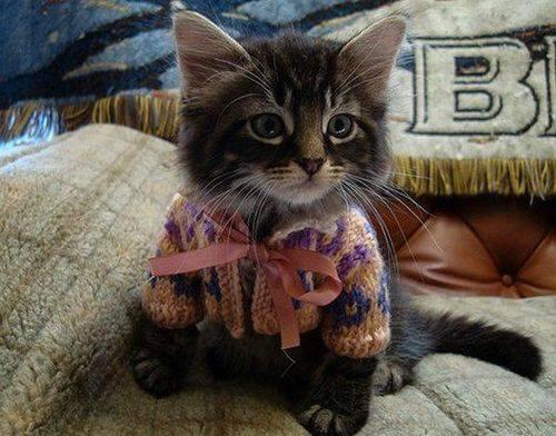 Kitten in sweater