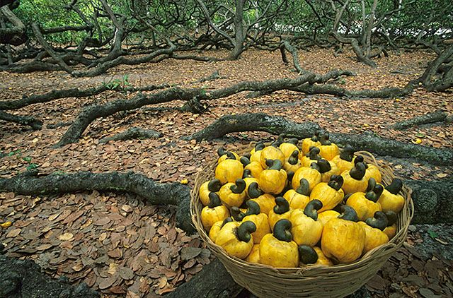 Largest tree in the world cashews