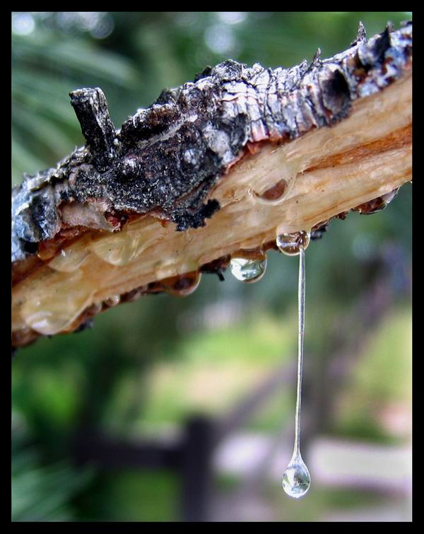 How to remove tree sap from your hands and clothing easy!