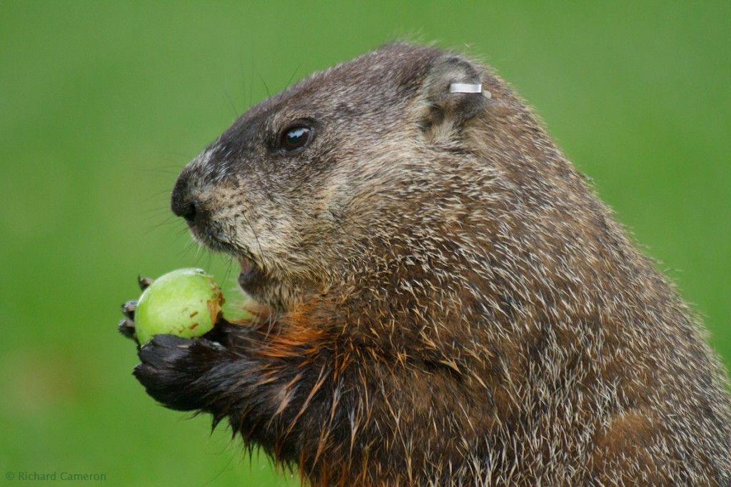 Groundhog prediction 2014