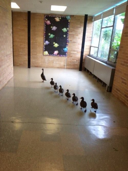 Geese found walking around in a school