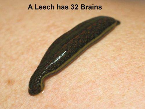 how many brains does a leech have
